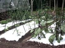 COCO家庭菜園