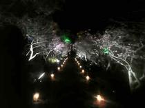 今帰仁グスク桜まつり 夜のライトアップ