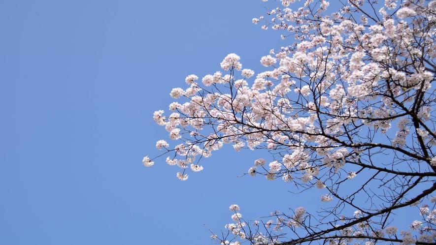 ◆満開の桜