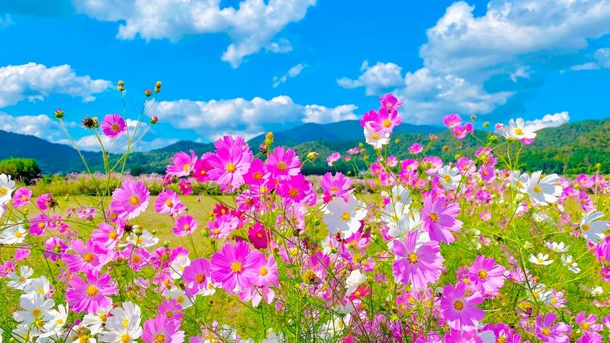 ◆広沢池周辺:コスモス(9~10月頃・ホテルより徒歩10分)