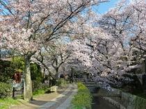 春にお出掛け下さい。哲学の道と桜並木、当館よりバスを利用して約15分
