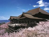 春にお出掛け下さい。清水の舞台と満開の桜、当館より徒歩で約25分。
