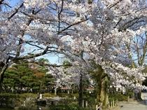 春にお出掛け下さい。円山公園の桜、当館より徒歩で約5~10分