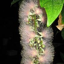 夜に咲く庭のサガリバナ
