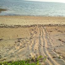 夏にはアオウミガメが産卵に来ます
