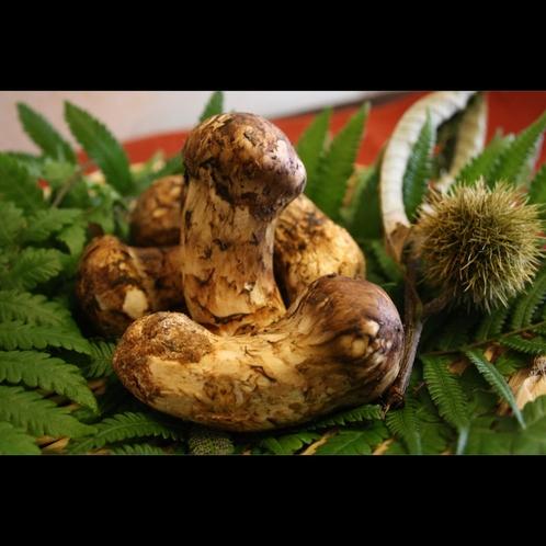 【松茸】当館が仕入れる松茸は香りがピークに達した上質なモノを仕入れてます