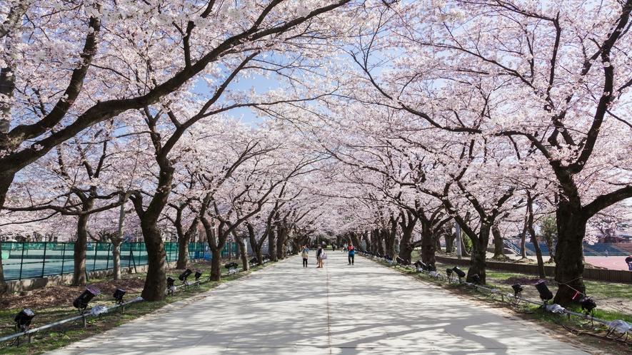 観桜会 桜ロード