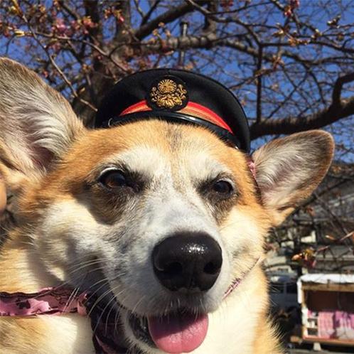 *当館の看板娘!はじめまして☆犬の駅駅長コーギーの「柚子小町」です。