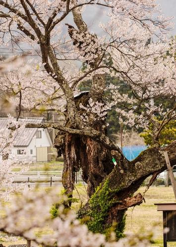 隣接する公園の逆さ桜