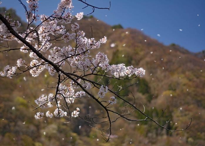 赤谷湖の桜