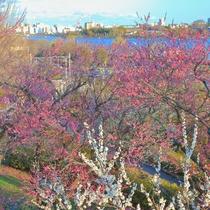 **【水戸偕楽園】徳川斉昭公により、領民の休養の場所として開園。春には梅や桜が美しく咲き誇ります。