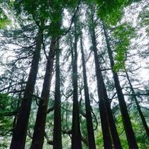 <天岩戸東本宮>樹齢六百年余の樹根の繋がった七本の大杉は必ず見るべき!