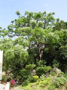 庭の中にあるのせんだん木