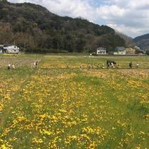 【松崎観光/春】田んぼのお花畑は圧巻の景色です♪