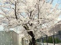 春 近所の小学校の桜が咲き乱れます