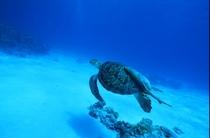 ケラマ諸島渡嘉敷島ウミガメ