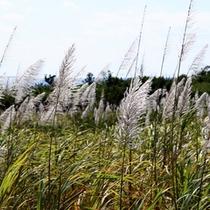 *【周辺】キビの花。その他にも南国ならではの草花が見られます。