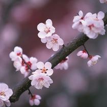 1000本の紅白の梅の花が咲き乱れる、修善寺梅林 梅まつり♪ 会場へは車5分