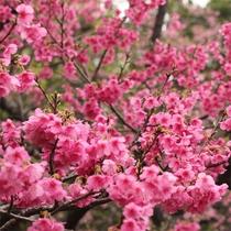 2019年1月20日~2月3日、土肥桜まつり開催中のお得プランが登場♪