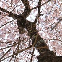 ☆周辺・景色_桜 (3)