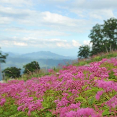 ■シモツケソウ(五竜高山植物園)