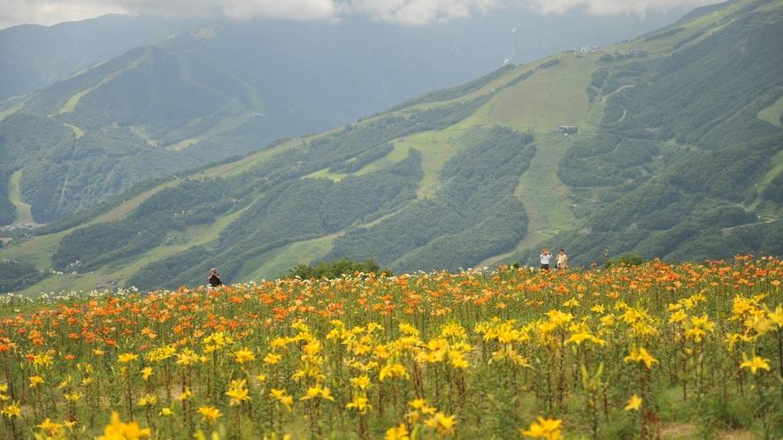 ■白馬岩岳ゆり園 毎年、山麓は7月上旬、山頂は8月初旬くらいから楽しめます