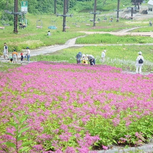 ■シモツケソウと五竜リフト(五竜高山植物園