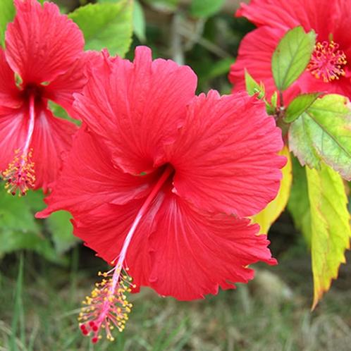*【ハイビスカス】リゾート感を演出してくれるハイビスカスは季節になると当館にも咲き誇ります。