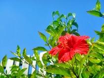 【ハイビスカス】南国の花、青い空に映えます。