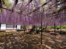 御船山楽園の樹齢170年の大藤 ※見頃は4月下旬〜5月上旬