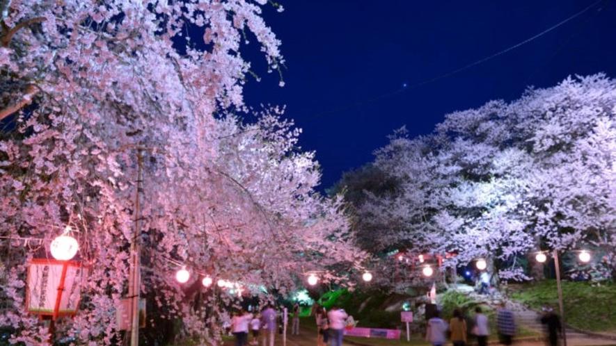 烏帽子山千本桜/さくらの名所100選で、25種、約1,000本の桜が咲き誇る