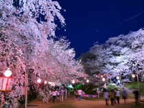 【春の観光】烏帽子山の「赤湯温泉桜まつり」は4月中旬~5月上旬頃、当館から浴衣で歩いて行ける桜の名所