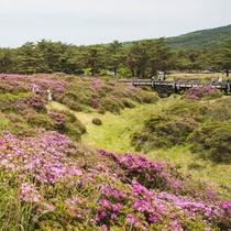 【霧島高原とミヤマキリシマ】5月~6月には霧島山を桃色に染めます。