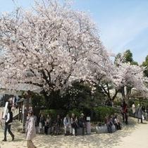 姫路城前の桜