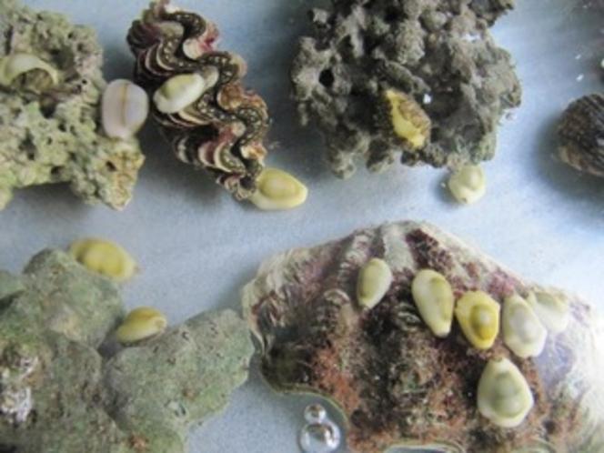 貝の飼育(水槽にて)