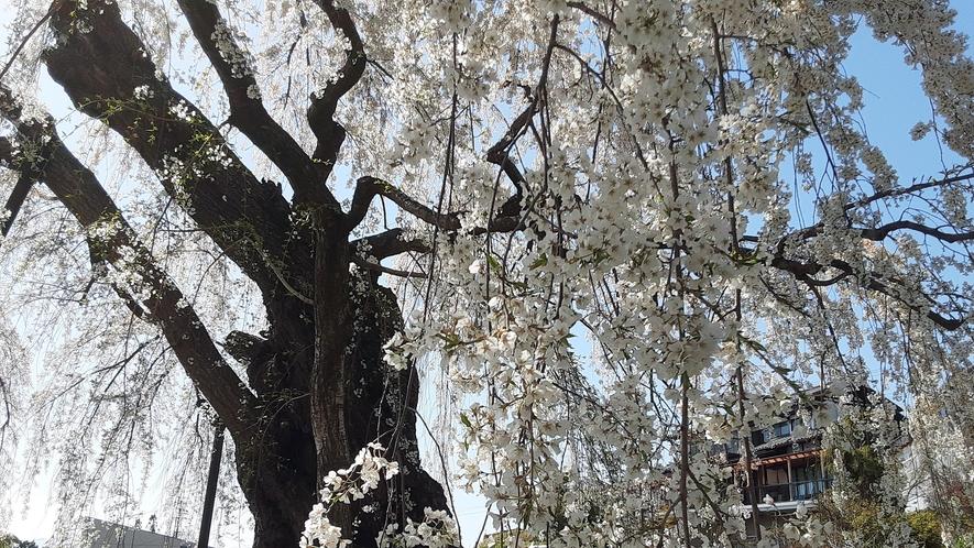 *昔の尼寺の草庵跡にあるシダレザクラ「源平しだれ桜」