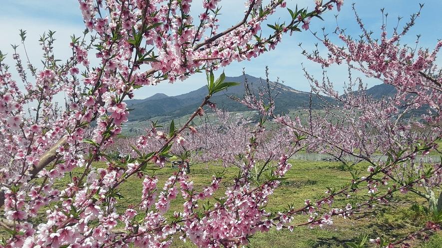 *桃の花。奥に聳えているのが、高社山です。
