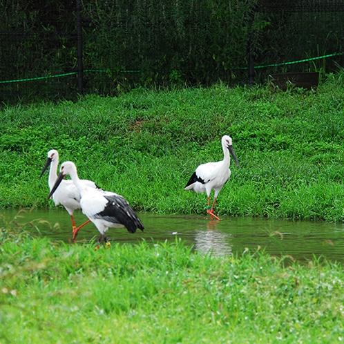 【コウノトリの郷公園】100羽近くのコウノトリを飼育する幸せを運ぶスポット(当館より車で約50分)