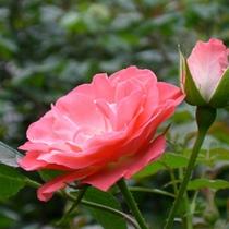 花巻温泉オリジナル品種「花巻おとめ80」