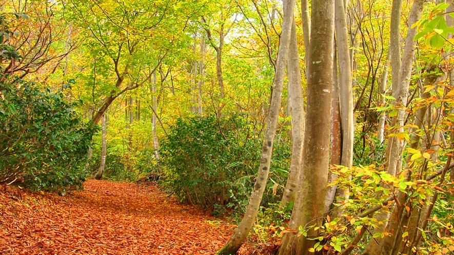 ブナ林/秋の紅葉(散策プログラムあり)