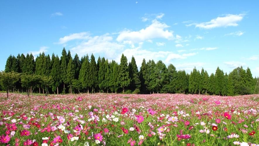 花だいら/200万本のコスモス(徒歩10分)見頃9月下旬~10月中旬