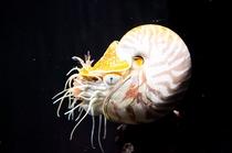 【沼津港深海水族館】駿河湾の深海生物♪オオムガイ