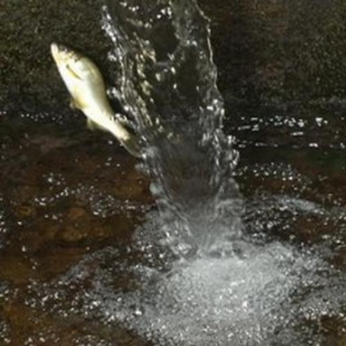 鮎の魚道ジャンプ