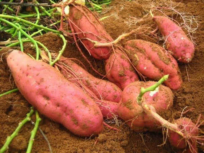 自家製農園で芋ほり 焼き芋