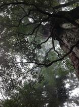 真下から見上げた紀元杉
