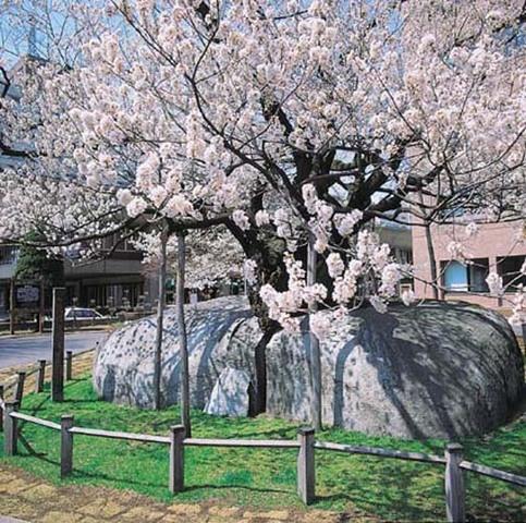 石割桜(春)