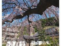 一畑薬師 枝垂桜