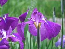 6月、北潟湖畔の花しょうぶ(車で50分)