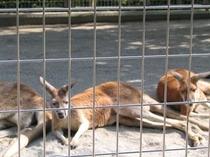 ミニ動物園のカンガルー