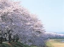 足羽川の桜並木(2キロにわたる桜並木です。)